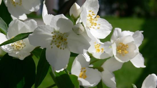 Jasmine-National-Flower-of-Pakistan